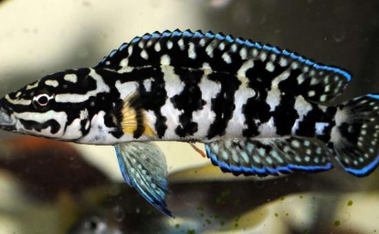 Julidochromis Marlieri Gombe (Julie à damier)