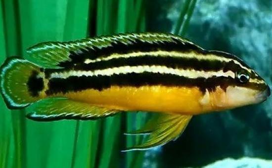 Julidochromis Ornatus (Julie dorée)