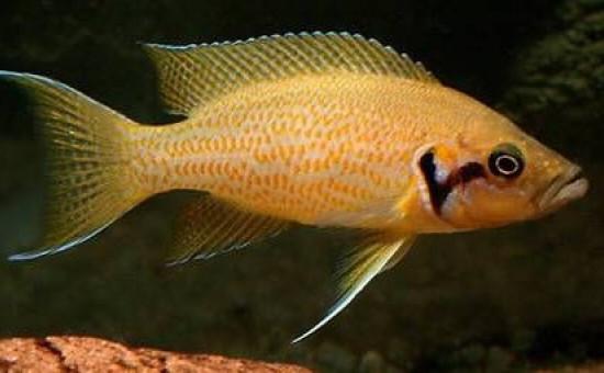Neolamprologus Helianthus