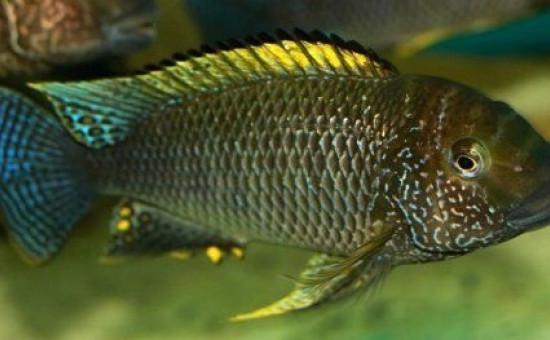 Petrochromis Famula Silver Tembwe