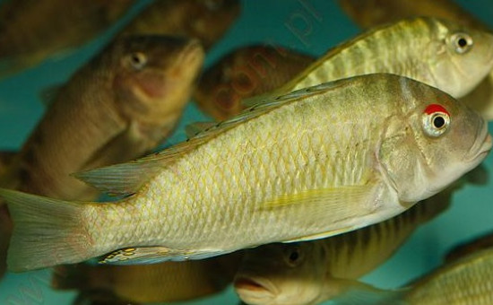 Petrochromis Fasciolatus Red Eyes