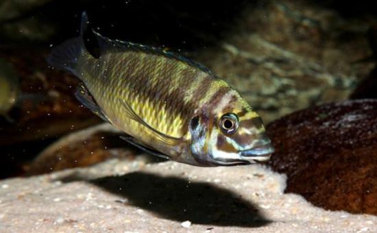 Petrochromis Orthognatus Ikola
