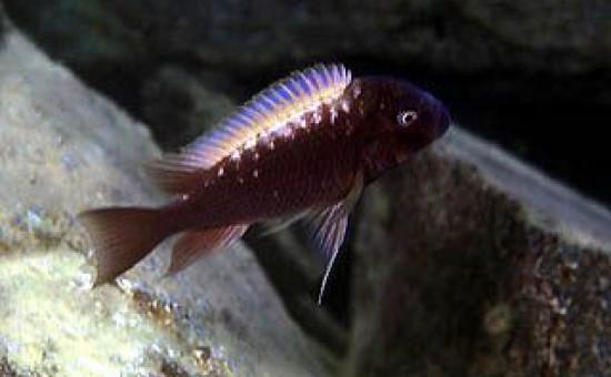Petrochromis Ephippium Halembe