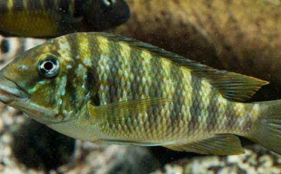 Petrochromis Macrognathus Kachese