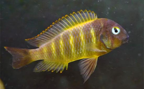 Tropheus Brichardi Bulombora