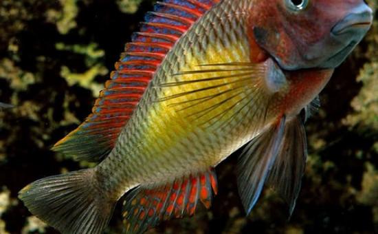 Tropheus Moorii Kasanga (Red Rainbow)