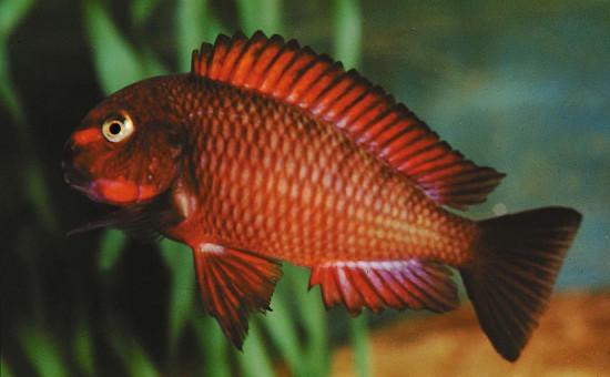 Tropheus Moorii Chimba