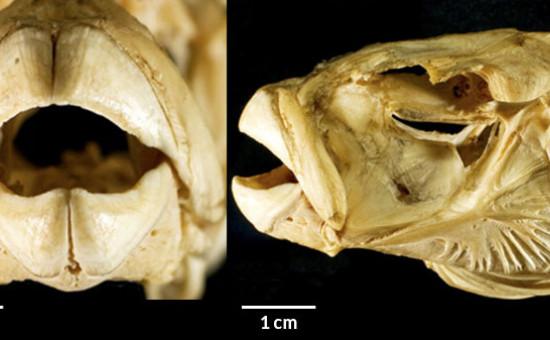 Crânes de tetraodons