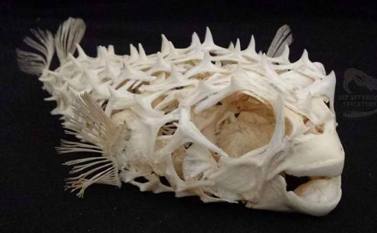 Squelette Diodon