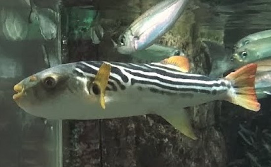 T. Xanthopterus (T. à nageoires jaunes)