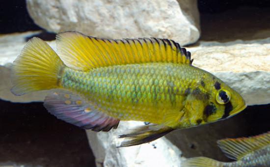 Astatotilapia Alluaudi (Astatoreochromis)