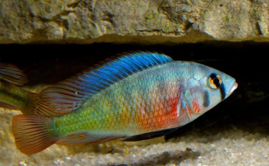 Haplochromis Riponianus