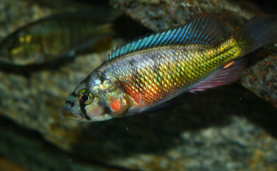 Harpagochromis sp Orange Rock Hunter