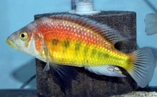 Lipochromis Parvidens (Cleptochromis)