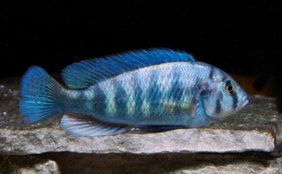 Neochromis Omnicaeruleus et mâles OB