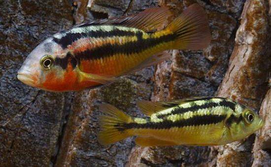 Paralabidochromis Sauvagei