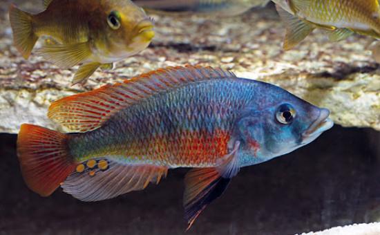 Paralabidochromis  Chilotes «Zue Island»