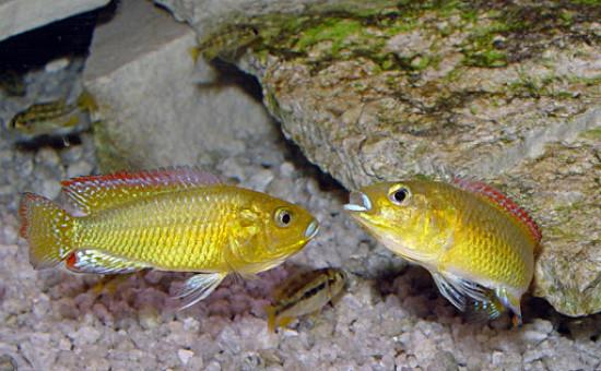 Pseudocrenilabrus Multicolor Victoriae