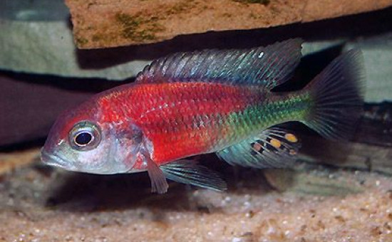 Ptyochromis sp Hippo Point Salmon