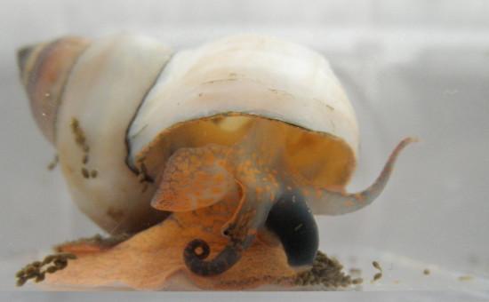 Bellamya Unicolor