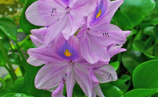 Flore Lac Victoria