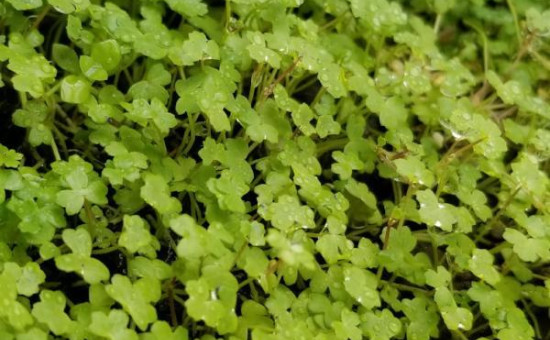 wabi kusa plante Hydrocotyle Tripartita