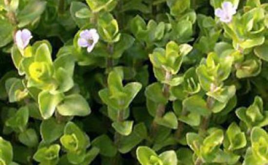 wabi kusa plante Bacopa Caroliniana