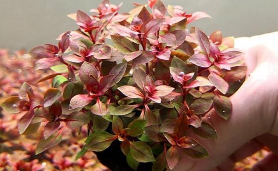 wabi kusa plante Ludwigia Palustris Red