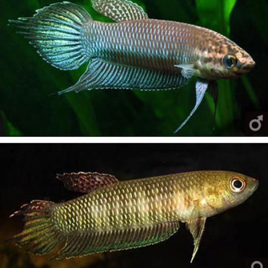 Bellica (Photo Seriouslyfish)