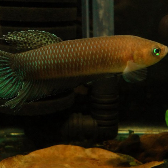 Simorum (Photo Fishipédia)
