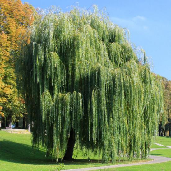 Saule Pleureur (Salix Babylonica)