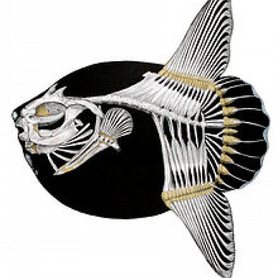 Squelette de Mola Mola