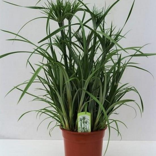 wabi kusa plante Cyperus