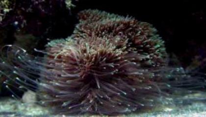 corail tentacule