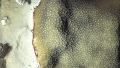 millepora complenata vs montastrea annularis