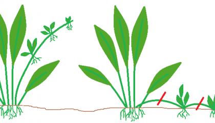 reproduction plante d'aquarium