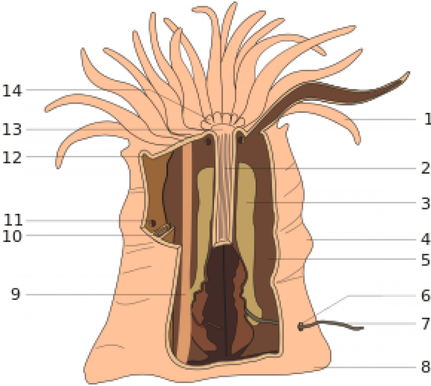 anatomie anemone