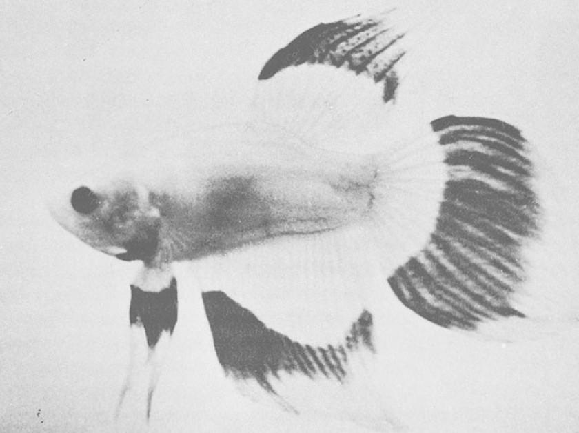 Le poisson original de Tutwiler