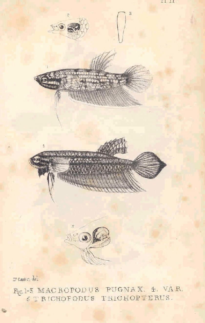 Macropodus Pugnax