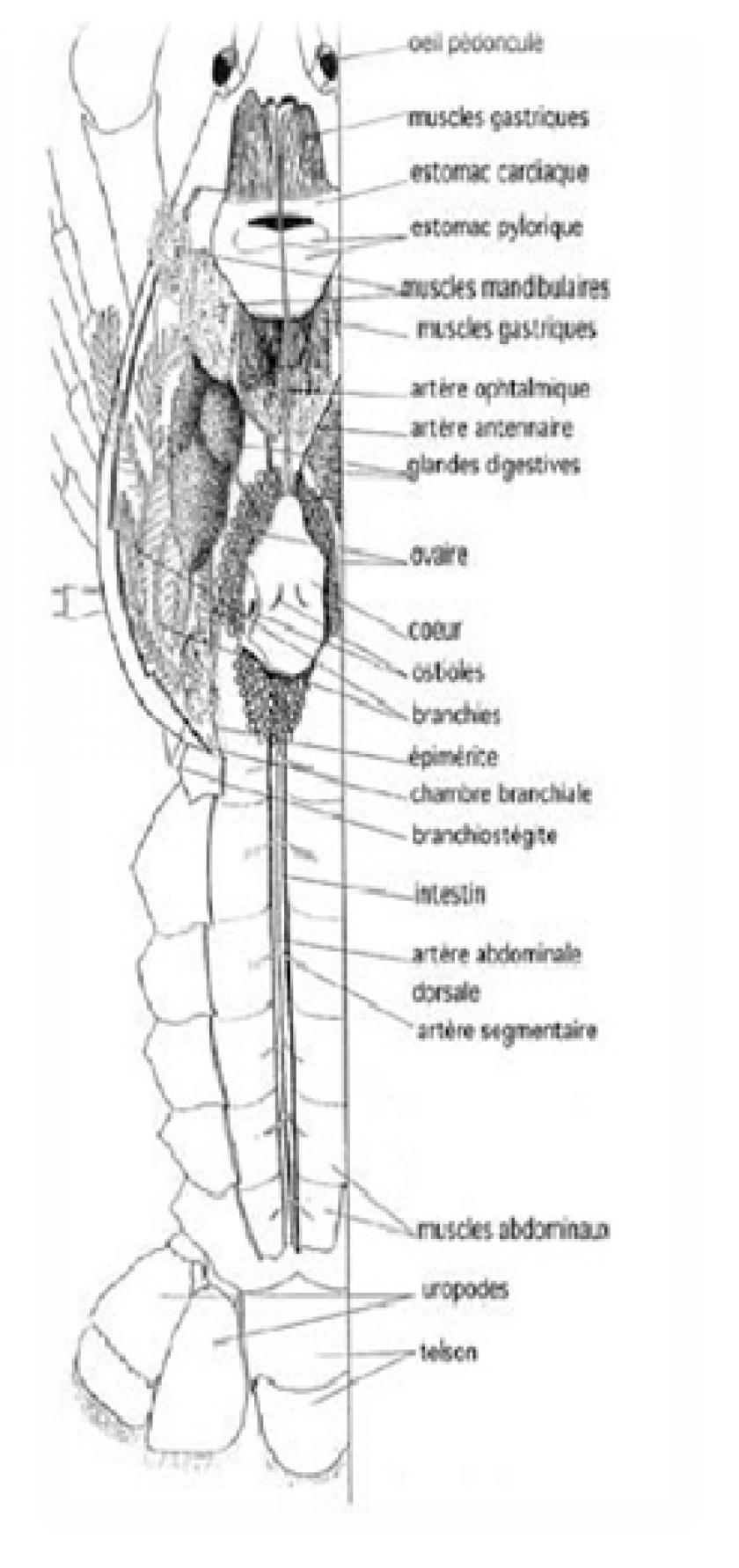 Cherax Morphologie