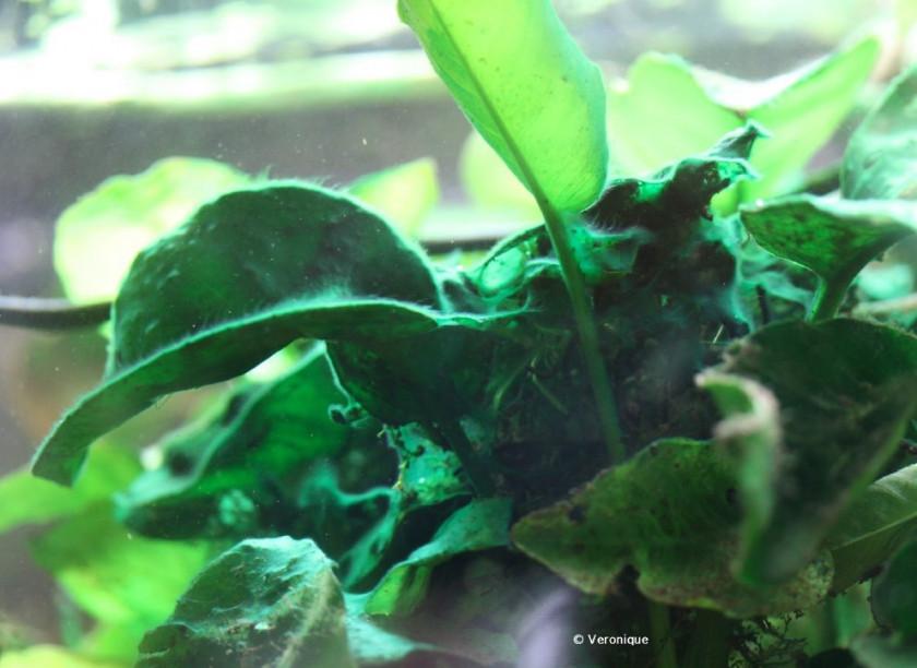 exemple de cyanobacterie en aquarium