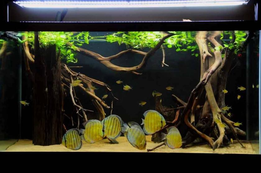 aquarium ideal discus