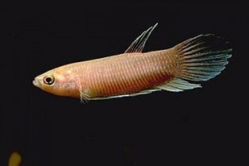 Anabatoides (Photo FishFish)