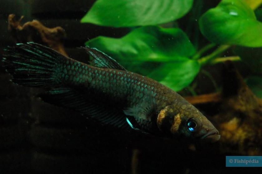 Strohi (Photo Fishipedia)
