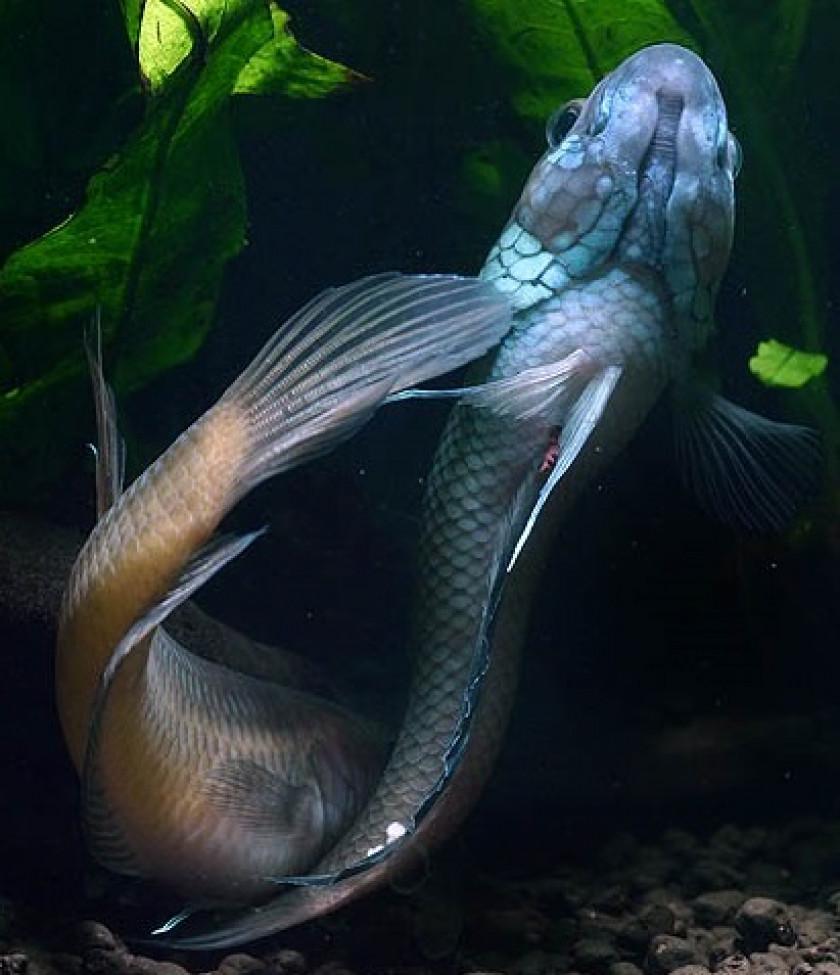 Ocellata mâle avec les œufs sur sa queue (Photo Ikanpemburu)
