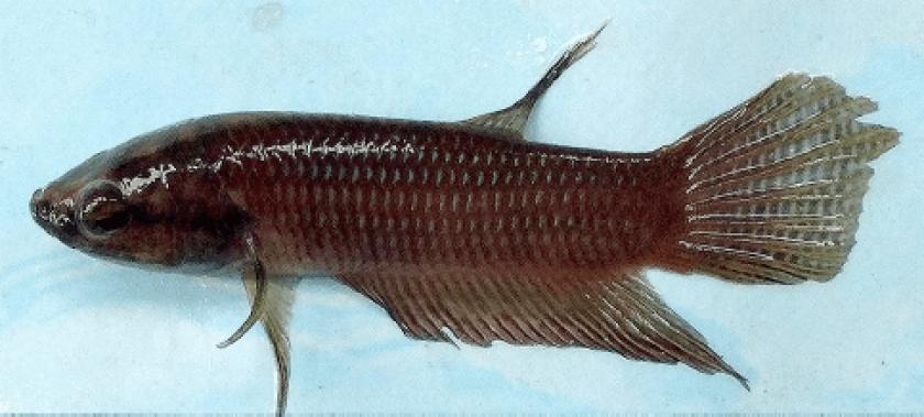 Holotype – Mâle 5 cm
