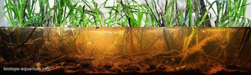 Aquarium idéal pour Sphaerichthys Osphronemoides