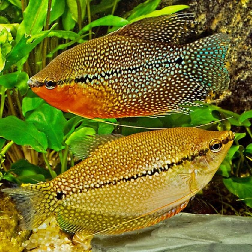 Couple de Trichopodus Leerii (mâle en haut)