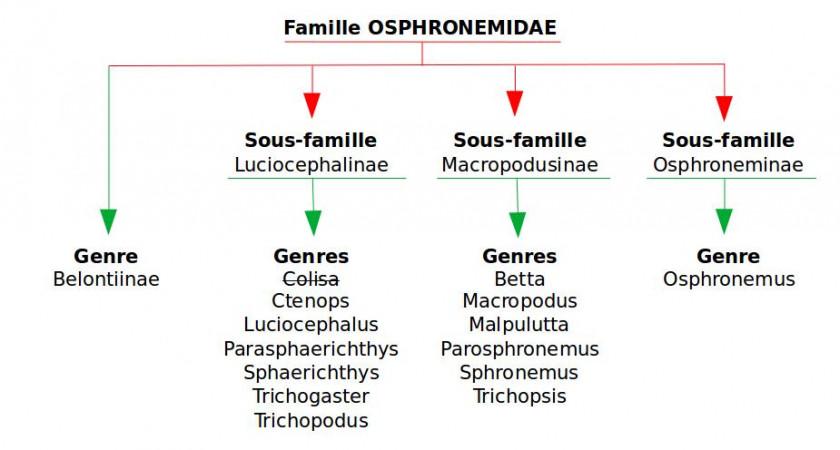 Familles, sous-familles et genre des gouramis