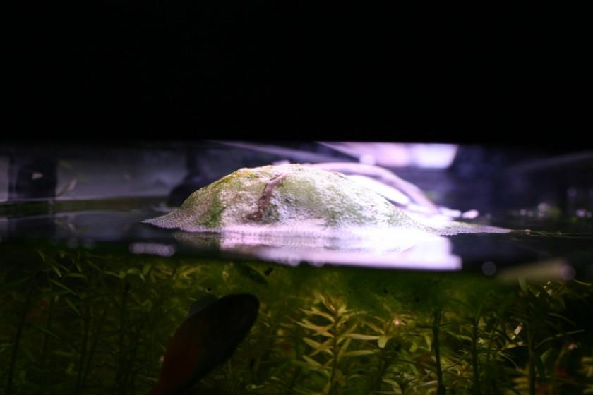 Nid de bulles de Trichogaster Chuna vu de la surface